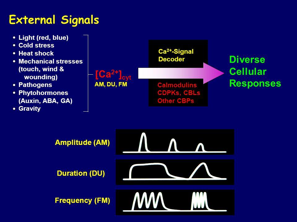 External Signals Diverse Cellular Responses [Ca2+]cyt Amplitude (AM)